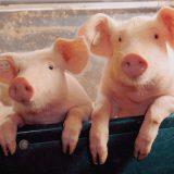 KDR grossier Tomassen zet onderscheidend varkensvlees concept op